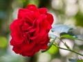 Unbekannte Rose