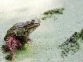 Frosch, Kasteeltuinen, Arcen (NL)
