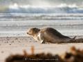 Junge Robbe auf Helgoland