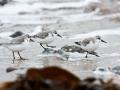 Strandläufer auf Helgoland