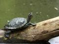 Schildkrötendiagonale