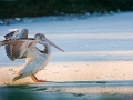 Pelikan im Schnee