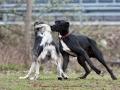 Dogge und Windhund