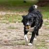 Trüffelhund Farah
